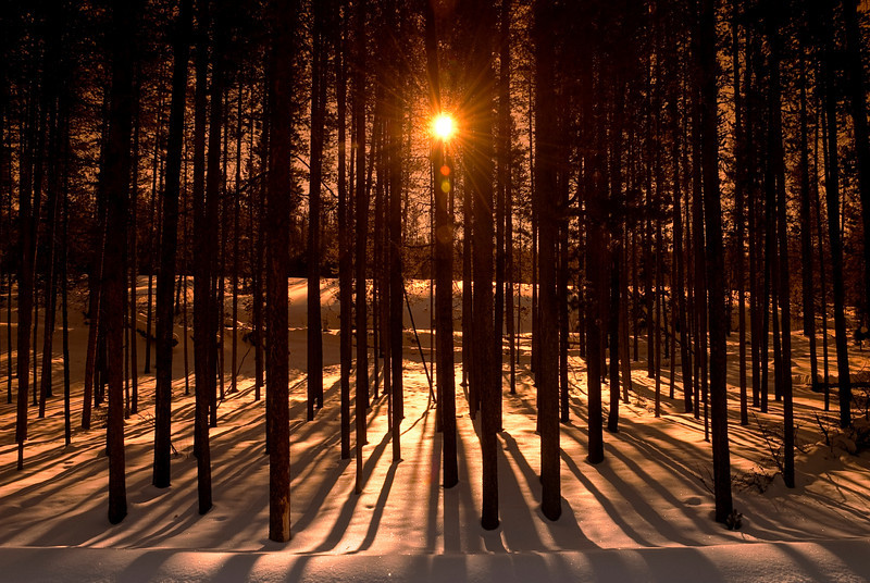 Sunlight through Pines