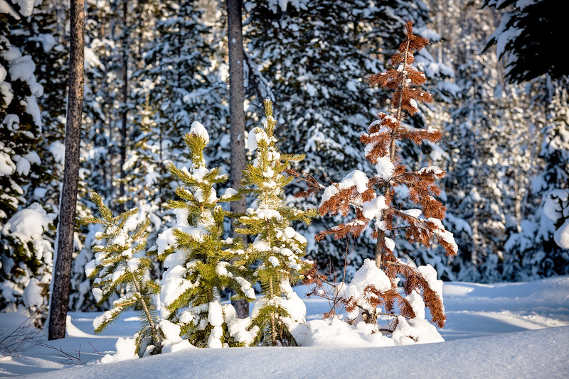 Close up of small pine trees in winter