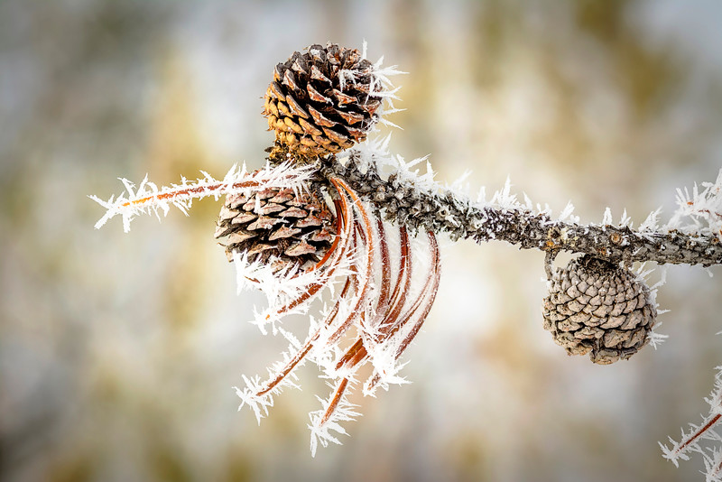 Ice crystals on a pine tree limb with cones