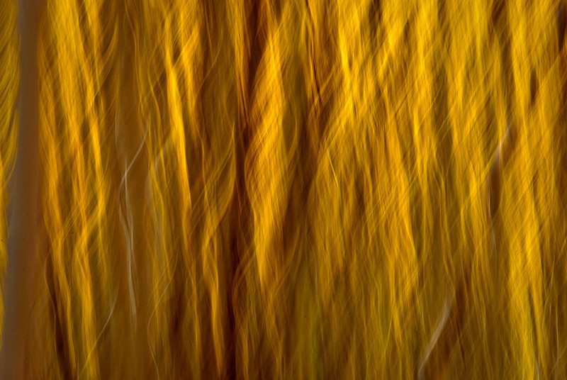 Autumn Aspen Grove Abstract