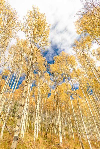 Yellow Autumn Aspen Trees in the Sawtooth Mountains