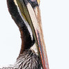 Brown Pelican Portrait, St Marks NWR