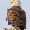 American Bald Eagle Taking a Break from Nest-Sitting