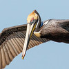 Brown Pelican coasting in for landing,  St Marks NWR