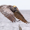 Brown Pelican coming in for piling landing, St Marks NWR