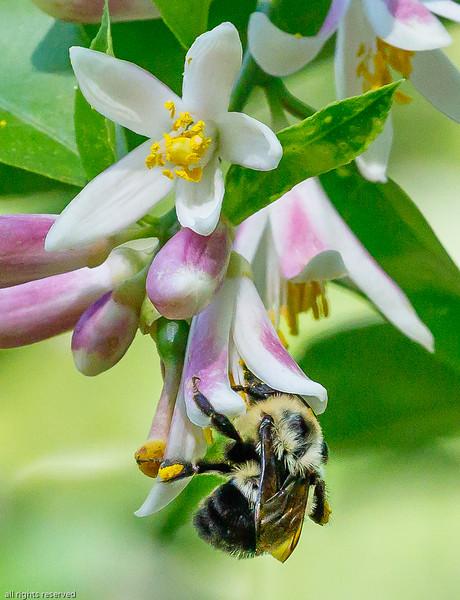 Honey Bee on Myers Lemon Bush