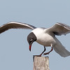 Laughing Gull landing on piling, St Marks NWR