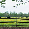 Belted Galloway - MAY 5TH, 2020 .. NOT AT THE BLAIR ESTATE .. OXFORD ROAD --