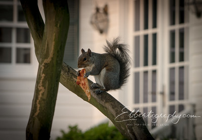 Happened past a squirrel having pizza for breakfast