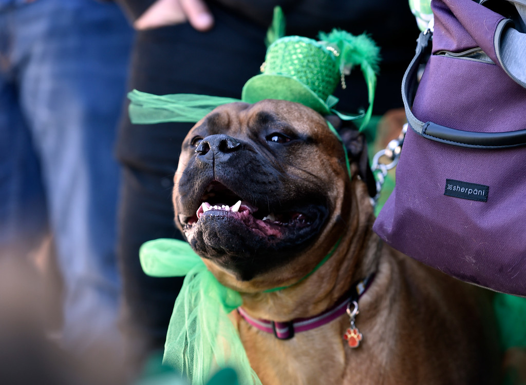 . BOULDER, CO - MARCH 17, 2019: Ali the dog smiles while wearing festive costume during the St. Patrick\'s Day Puppy Parade on Sunday outside of the Boulder Beer Company in Boulder. For more photos of the parade go to dailycamera.com (Photo by Jeremy Papasso/Staff Photographer)