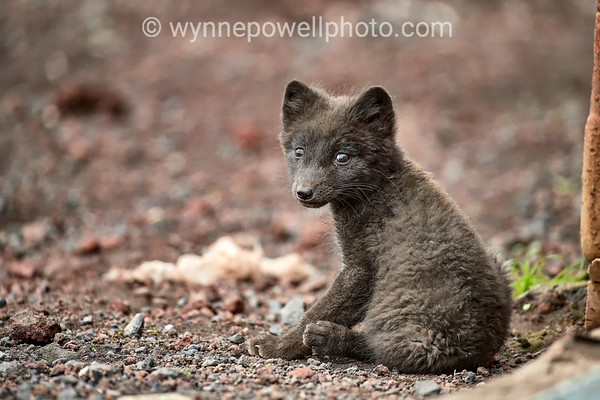 White Tip Arctic Fox Puppy