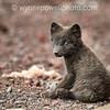 White Tip Arctic Fox Puppy