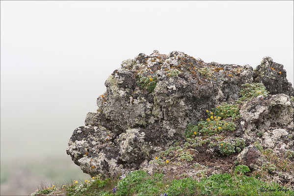 Rock Sandpiper