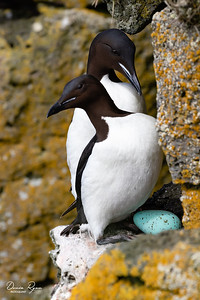 Mum & Dad's Precious Egg (Thick-billed Murre)