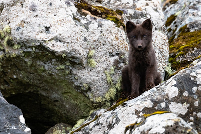 Arctic blue Fox (Blue Morph)