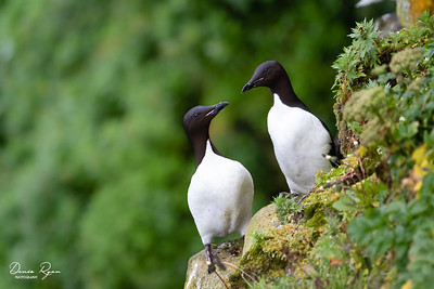 Thick-billed Murre (Uria lomvia)