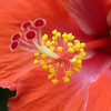 Tropical hibiscus close up