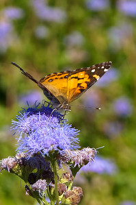 Pearl Crescent collecting nectar