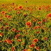 Blanket Flowers at Double Tree Ranch Park