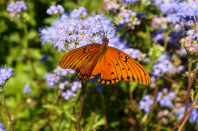 Passion Butterfly collecting nectar
