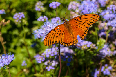 A Passion Butterfly