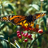 Monarch on Mexican Butterfly Weed