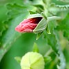 Texas Rock Rose bud