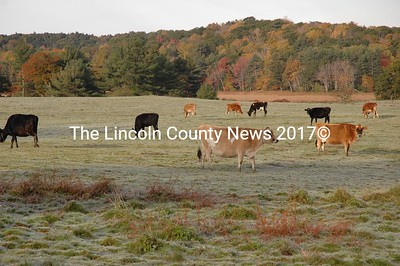 October's first frost doesn't seem to bother Bossey and her friends as they graze in a Newcastle farm meadow. (Joe Gelarden photo)