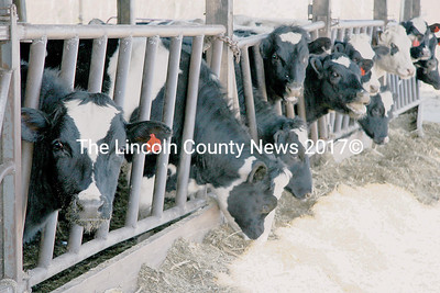 Spear's Farm in Nobleboro is raising replacement heifers to sell to other farmers, one alternative to maintaining a full time dairy herd. (J Maguire photo)