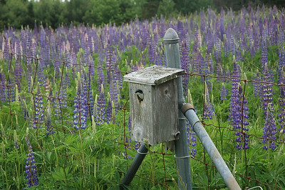 A field of lupines provide a stunning background as a swallow peeks out its head out of a house affixed to a fence at the headquarters of the Great Salt Bay Sanitary District headquarters in Damariscotta.(Joe Gelarden photo)