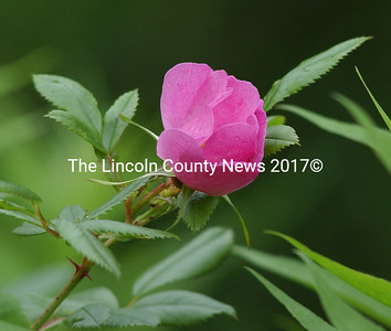 A wild rose comes into bloom at Trout Brook Preserve in Alna.