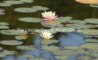 Pond lillies in bloom. (Paula Roberts photo)