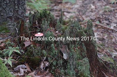 This rotting stump gives life to numerous fungus and moss species. (Paula Roberts photo)