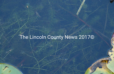 The invasive plant Hydrilla was discovered in a small cove off Hemlock Park Rd. in Jefferson.