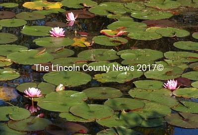 Pink lillies, non native to Maine, were also found in the small cove where Hydrilla was found on Damariscotta Lake in Jefferson.