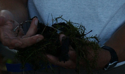 White tubers of the invasive plant Hydrilla, discovered in a small cove on Damariscotta Lake in Jefferson.