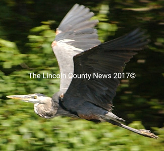 A Great Blue Heron soars over the Goose River in the Mill Pond Preserve. (Paula Roberts photo)
