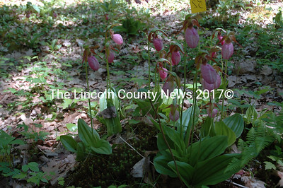 A gaggle of Lady Slippers shows off its beauty as Maine's own wild orchards are now in bloom peeking up in the woods.(Joe Gelarden photos)