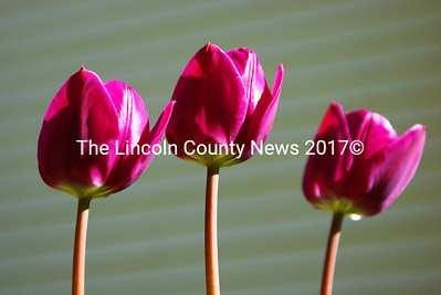 Spring has sprung and so have the tulips. (Photo Steve Edwards)