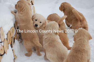 Some of Sally Morrison's Golden Retriever puppies play in the snow. (Samuel J. Baldwin photo)