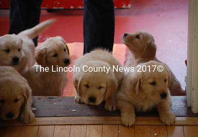 Sally Morrison's ten, seven-week-old, golden retriever puppies try to clamber up into the kitchen of her Waldoboro home. (Samuel J. Baldwin photo)