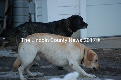 These two dogs led Newcastle residents on a chase for over an hour on Feb. 23. (Samuel J. Baldwin photo)