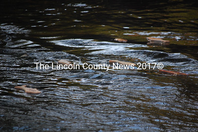 Wood alewives race downstream during the Running of the Alewives Oct. 6. (J.W. Oliver photo)