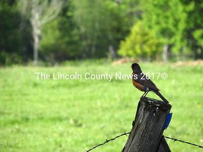 A robin perches on a fencepost at a farm on North Nobleboro Road in Waldoboro. (Shlomit Auciello photo)