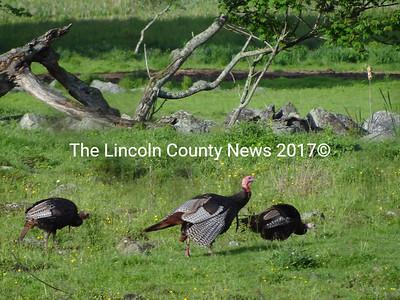 Wild turkeys strut their stuff on a farm field in Waldoboro. (Shlomit Auciello photo)