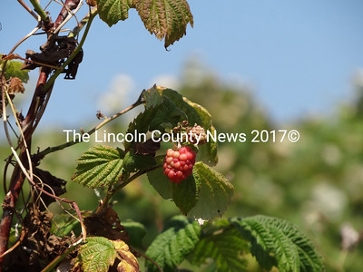 Pick-your-own raspberries are grown at Beau Chemin Preservation Farm, on Finntown Road in Waldoboro. (Shlomit Auciello photo)