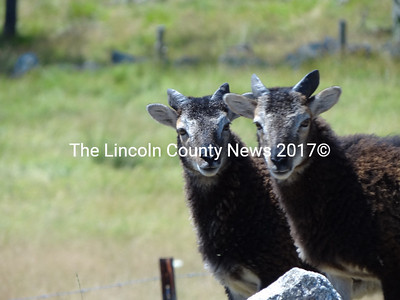 At Beau Chemin Preservation Farm, in Waldoboro, endangered breeds of sheep, pigs, goats and ducks are raised for breeding stock. (Shlomit Auciello photo)