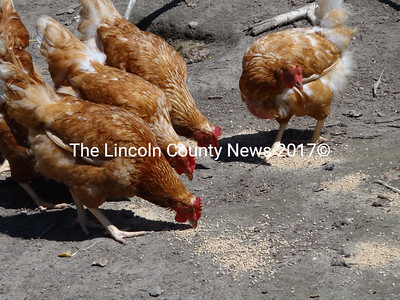 These sexlinks at County Fair Farm in Jefferson are bred for the color that identifies females from males. Farmer Sue Williamson said the red chicks grow up to become these red hens. Eggs at the farm in Jefferson are unfertilized. (Shlomit Auciello photo)
