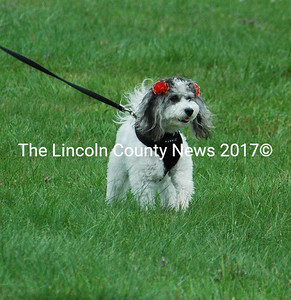 """The First place award for Best Costume went to Miss Lola Candy Princess, a shelter rescue """"from away."""" Miss Princess now lives in Round Pond and  was shown by Maddie Leibman in her """"Miss America"""" Costume."""