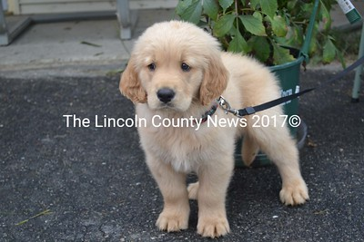 Making his first public appearance with his new family,  51-day-old Buddy is not sure what to make of all the commotion, outside Ollie's Place, during Jefferson Community Day, Aug. 17. Buddy is owned by Ron Jones, of Jefferson. (Sherwood Olin photo)